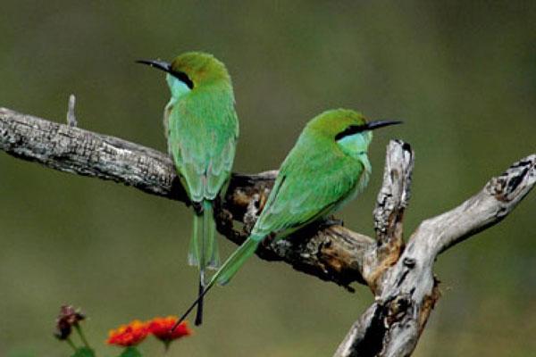 Kanha-bee-eater.jpg