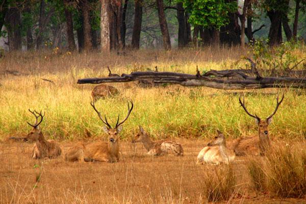 Kanha-deer.jpg