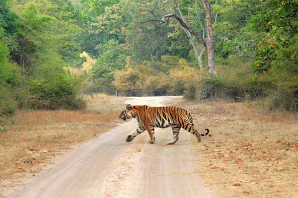 Kanha-tiger-crossing.jpg