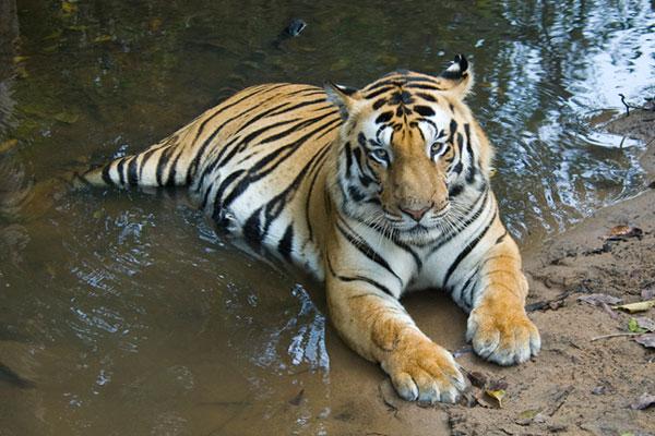 Kanha-tiger.jpg