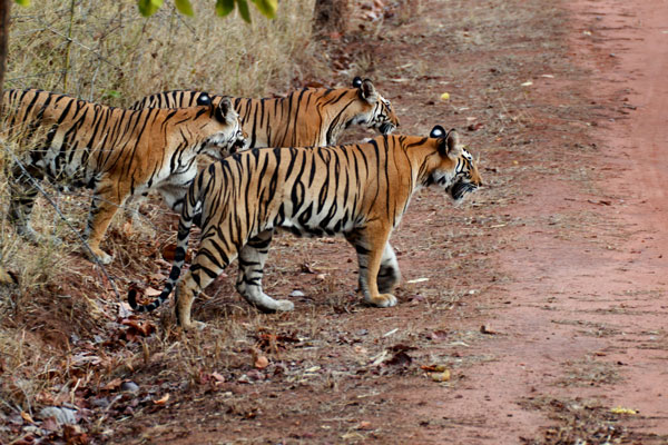 bandhavgarh-tigers.jpg