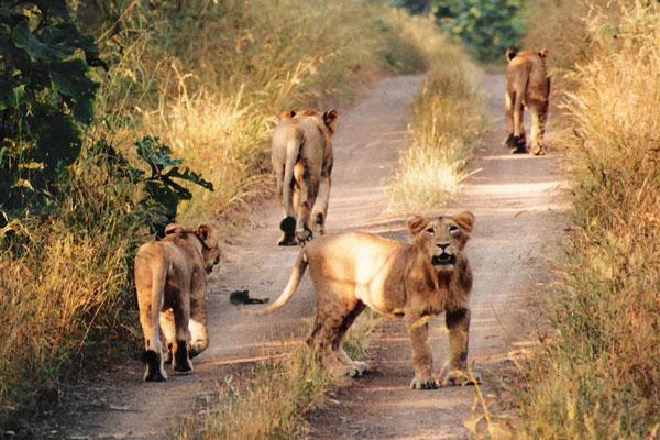 lion_pride.jpg