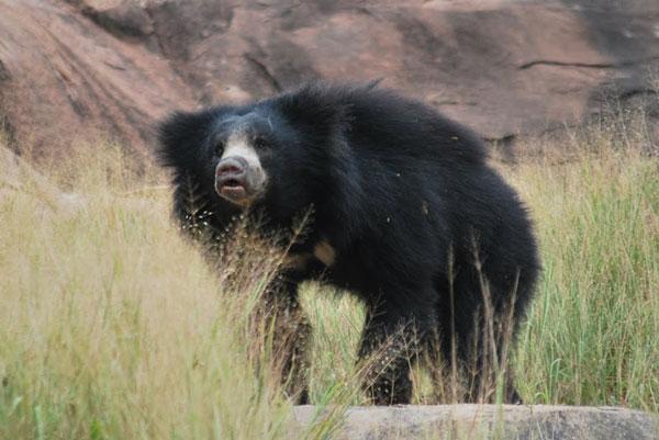 daroji-sloth-bear.jpg