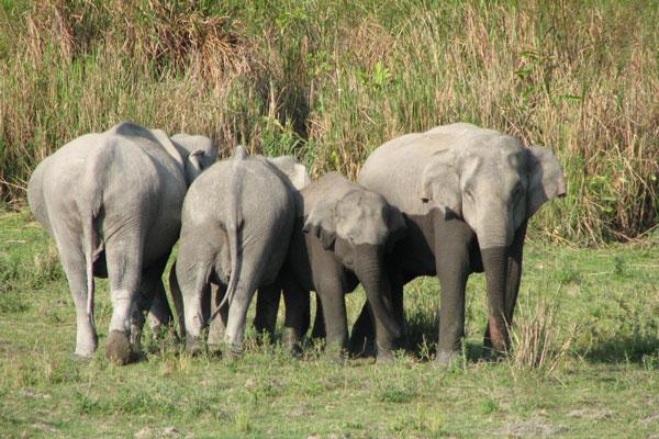 kaziranga-elephants.jpg