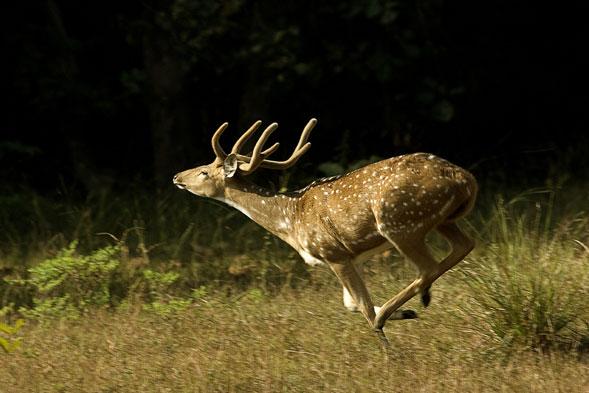 tadoba-deer.jpg