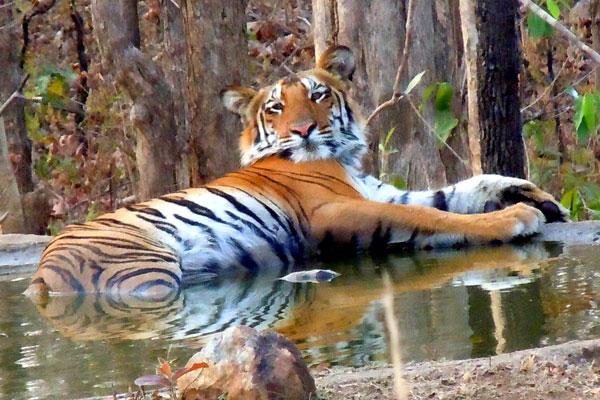tadoba-tiger.jpg
